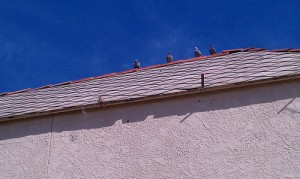 Pigeons and Pismo